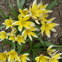 """Tulipa """"tarda"""""""