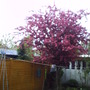 FLOWERING_PLUM_29_APRIL.jpg