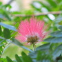 Mid-autumn downunder:  first blooms on Calliandra surinamensis - Pink Powder Puff (Calliandra Surinamensis)