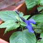 Mid-autumn downunder: Salvia guaranitica &#x27;Black and Blue&#x27; blooming (Salvia guaranitica)