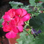 Mid-autumn downunder: Pelargonium 'Emotion' in bloom (pelargonium)