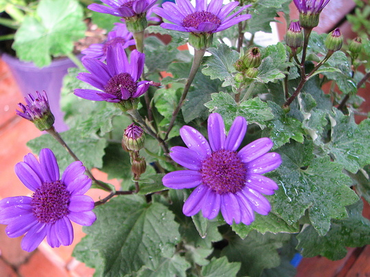 Mid-autumn downunder: Senetti 'Baby Blue' in bloom