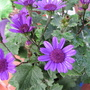 Mid-autumn downunder: Senetti &#x27;Baby Blue&#x27; in bloom