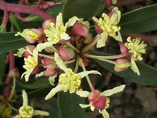 Mountain Pepper   ' Drimys Lanceolata '  (Drimys lanceolata)