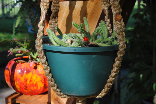 monkey tail cactus