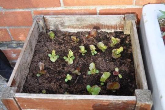 More Salad leaves