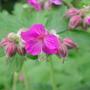 Geranium x cantabrigiense (Hardy geranium)