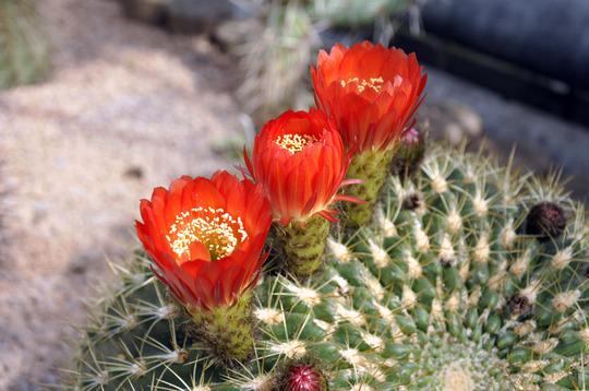 Echinopsis brechii (echinopsis brechii)