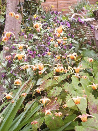 Epimedium 'Amber Queen' (Epimedium 'Amber Queen')