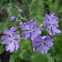 Primula sieboldii 'Frilly Blue' (Primula sieboldii)