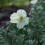 Erodium chrysanthum (Erodium chrysanthum)