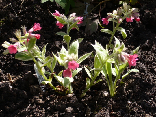 pulmonaria in the afternoon sun. (Pulmonaria rubra 'David Ward')