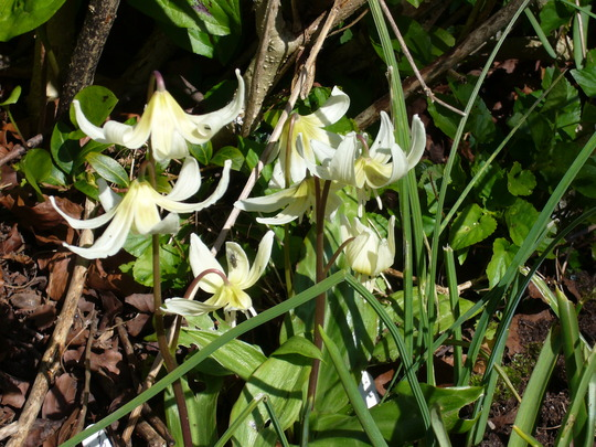A true 'white beauty' (Erythronium 'White beauty')