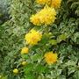 Kerria japonica (Japanese rose)