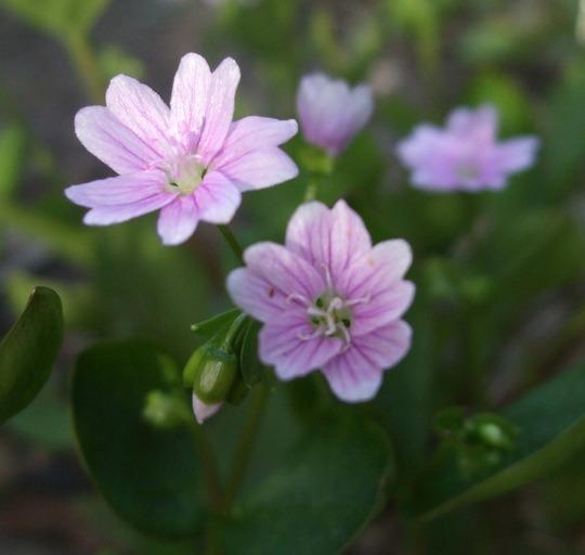 Claytonia sibirica (Claytonia sibirica)