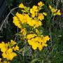 Cheiranthus (Wallflower) (Cheiranthus (Wallflower))