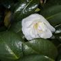 Camellia ETR Carlyon (Williansii)