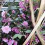 Camellia Donation (Williamsii) and Ribes Sanguineum (fFowering Currant) (Camellia Donation (Williamsii) and Ribes Sanguineum (fFowering Currant))