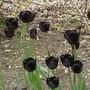 Tulips_queen_of_night_