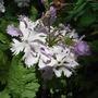 Primula sieboldii 'Lilac Sunbonnet' (Primula sieboldii 'Lilac Sunbonnet')
