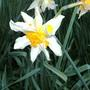 Bild0055_daffodil