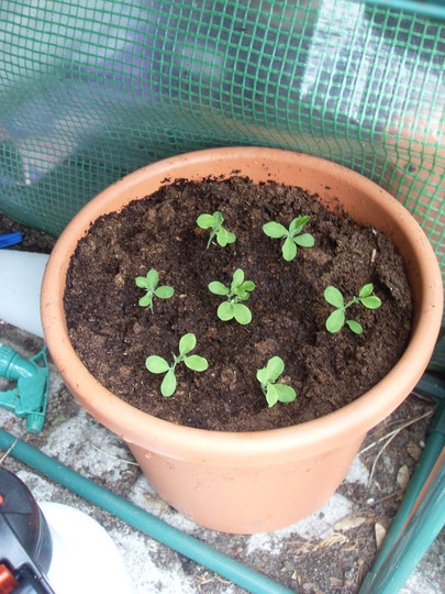sweet pea seedlings