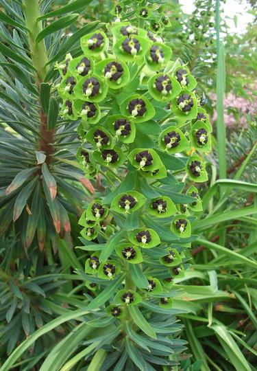 Euphorbia characias 'Black Pearl' - 2010 (Euphorbia characias 'Black Pearl')