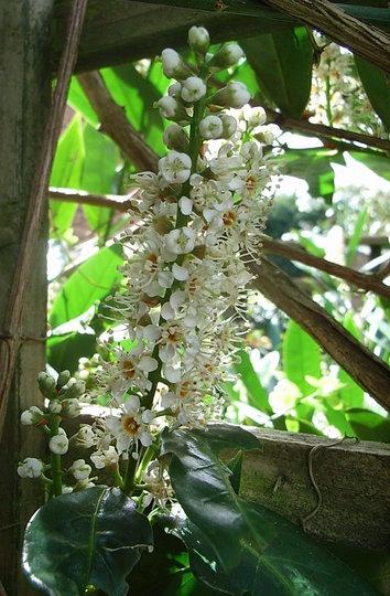 Prunus laurocerasus 'Otto Luyken' (Prunus laurocerasus 'Otto Luyken')