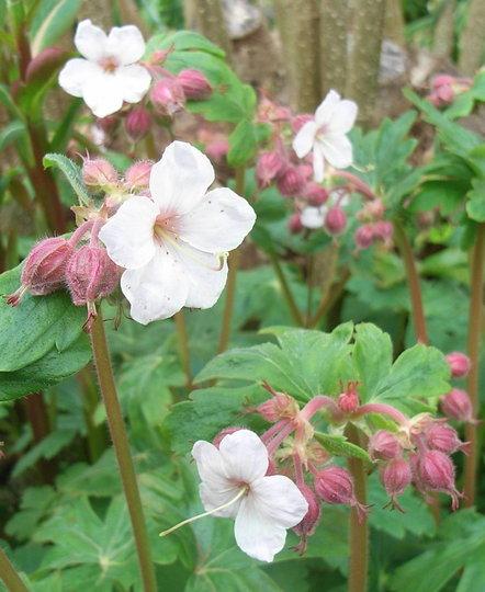 Geranium macrorrhizum - 2010 (Geranium macrorhizum)