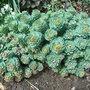 Rhodiola rosea - growth (Rhodiola rosea)