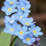 Forget me not,s (Myosotis alpestris)