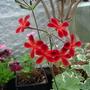"""Pelargonium """"ardens""""   sp"""