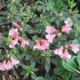 Rhododendron campylogynum 'Patricia' (Rhododendron campylogynum 'Patricia')