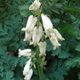 Dicentra_ivory_hearts_2010