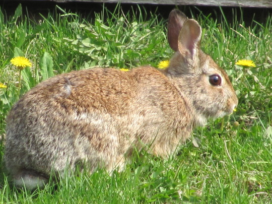 Bunny taking care of my dandelions