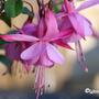 Fuchsia 'Beacon Rose' (Fuchsia 'Beacon Rose')