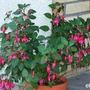 Fuchsia 'Beacon' (Fuchsia 'Beacon')