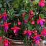 Fuchsia 'Catootje' (Fuchsia 'Catootje')