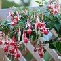 Fuchsia 'Checkerboard' (Fuchsia 'Checkerboard')