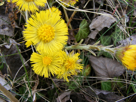 Coltsfoot  (wild flower)