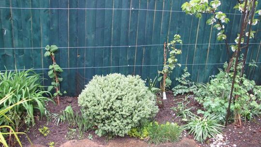 Kiwi. (Actinidia chinensis)