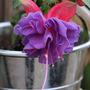 Fuchsia 'Deep Purple' (Fuchsia 'Deep Purple')