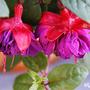 Fuchsia 'Delvino' (Fuchsia 'Delvino')