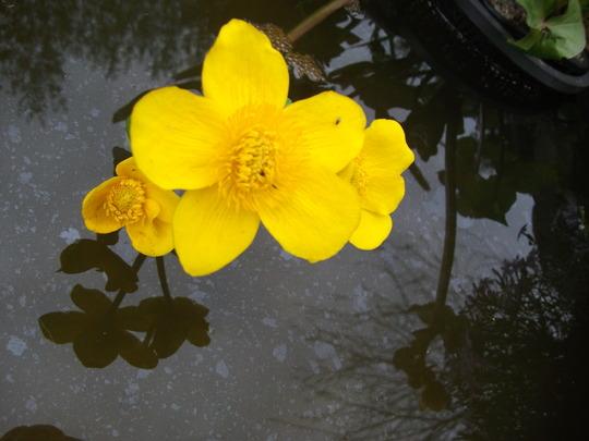 Caltha Polypetala ( Giant Marsh marigold  (Caltha Polypetala ( Giant Marsh marigold)