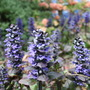 Toot-toot! (Ajuga reptans (Bugle))