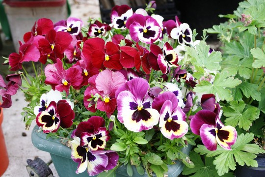 Potfull of pansies