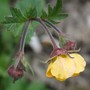Geum - yellow