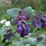 Cerinthe major var purpurascens (Cerinthe major)