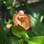 Chaenomeles japonica (Japonica)