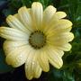 Osteospermum......